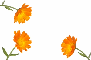 Calendula on a white background